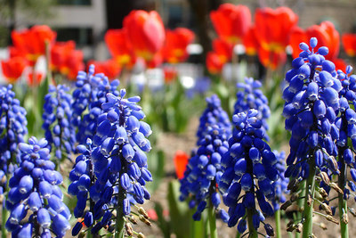 Flowers along K Street - Washington, DC ... April 10, 2006 ... Photo by Rob Page III