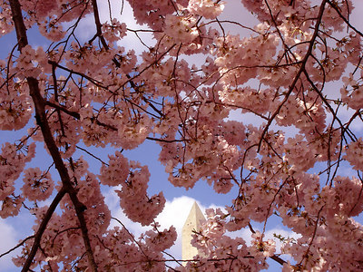 Cherryblossoms - Washington, DC ... April 1, 2006 ... Photo by Emily Conger