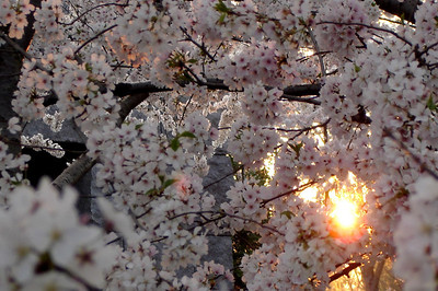 Cherry Blossoms - Washington, DC ... April 1, 2006 ... Photo by Rob Page III