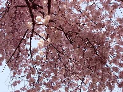 Cherryblossoms - Washington, DC ... March 31, 2006 ... Photo by Emily Conger