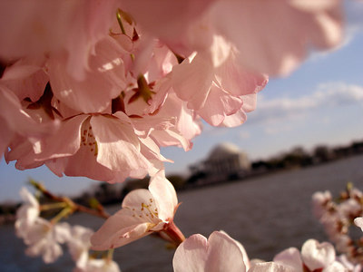 Cherryblossoms - Washington, DC ... April 1, 2006