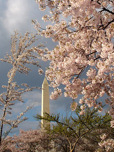 Cherryblossoms and the Washington Monument - Washington, DC ... April 1, 2006