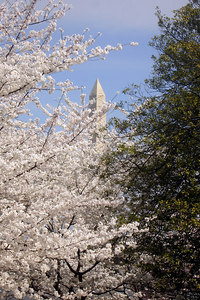 The Washington Monument tries to poke out from behind some cherry blossoms - Washington, DC ... March 31, 2007 ... Photo by Rob Page III