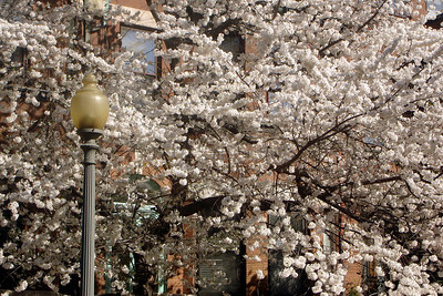 The cherry blossoms are out - Washington, DC ... March 30, 2007 ... Photo by Rob Page III