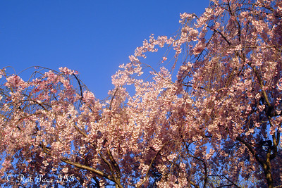 The cherry blossoms - Washington, DC ... April 2, 2007 ... Photo by Rob Page III