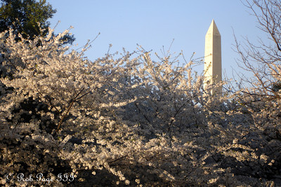 The Washington Monument peeks out above the cherry blossoms - Washington, DC ... April 2, 2007 ... Photo by Rob Page III