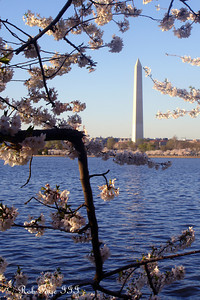 The Washington Monumentand the cherry blossoms - Washington, DC ... April 2, 2007 ... Photo by Rob Page III