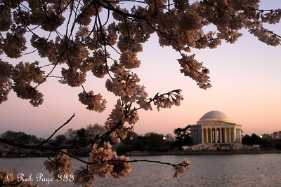 The Jefferson and the cherry blossoms - Washington, DC ... April 2, 2007 ... Photo by Rob Page III