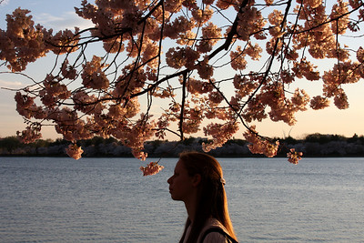 Emily takes in the cherry blossoms - Washington, DC ... April 2, 2008 ... Photo by Rob Page III