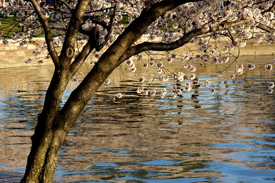 Cherry blossoms down by the Tidal Basin - Washington, DC ... April 2, 2008 ... Photo by Rob Page III