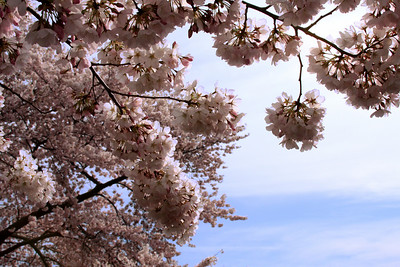 Cherry blossoms - Washington, DC ... March 29, 2008 ... Photo by Rob Page III
