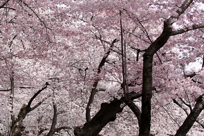 A sea of blossoms - Washington, DC ... March 29, 2008 ... Photo by Rob Page III