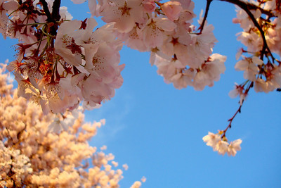 Cherry blossoms - Washington, DC ... April 2, 2008 ... Photo by Emily Page