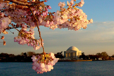 Cherry Blossoms and the Jefferson Memorial - Washington, DC ... April 2, 2008 ... Photo by Emily Page