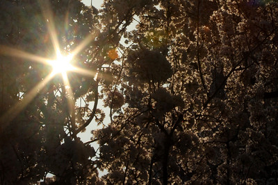 Sunrise through the blossoms - Washington, DC ... April 4, 2009 ... Photo by Rob Page III
