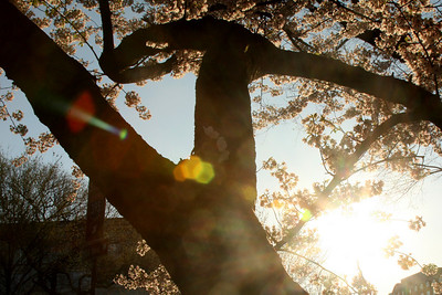 The cherryblossoms through the sunrise - Washington, DC ... April 4, 2009 ... Photo by Enily Page