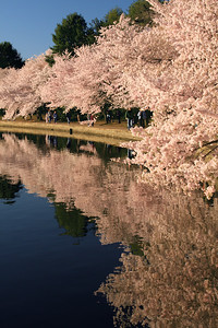 Cherryblossoms along the Tidal Basin - Washington, DC ... April 5, 2009 ... Photo by Emily Page