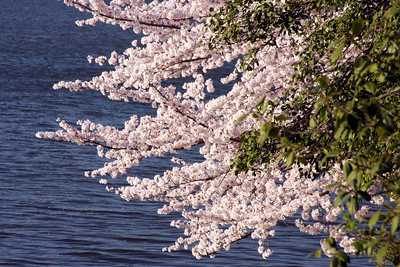 Cherryblossoms - Washington, DC ... April 4, 2009 ... Photo by Rob Page III