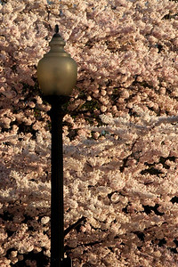 A classic DC streetlamp - Washington, DC ... April 4, 2009 ... Photo by Rob Page III
