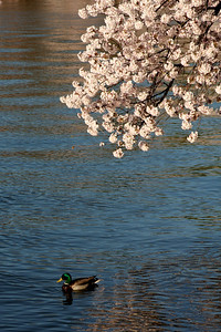 Even the ducks are taking in the cherryblossoms - Washington, DC ... April 4, 2009 ... Photo by Rob Page III