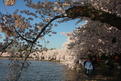 Taking in the cherryblossoms along the Tidal Basin - Washington, DC ... April 4, 2009 ... Photo by Rob Page III