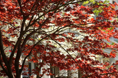 A Japanese maple - Washington, DC ... April 18, 2009 ... Photo by Rob Page III