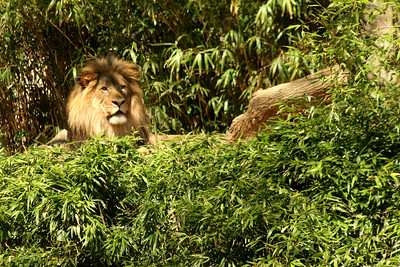 A lion at the National Zoo - Washington, DC ... April 18, 2009 ... Photo by Rob Page III