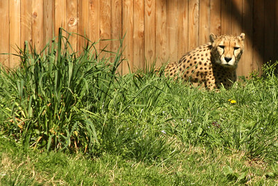 A cheetah at the National Zoo - Washington, DC ... April 18, 2009 ... Photo by Rob Page III