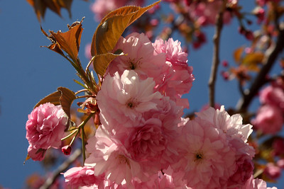 Springtime blossoms - Washington, DC ... April 18, 2009 ... Photo by Rob Page III