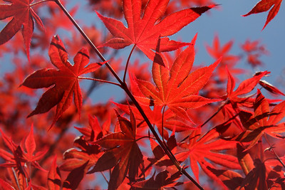 The leaves of a Japanese Maple - Washington, DC ... April 18, 2009 ... Photo by Rob Page III