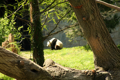 The panda didn't want its photo taken - Washington, DC ... April 18, 2009 ... Photo by Rob Page III