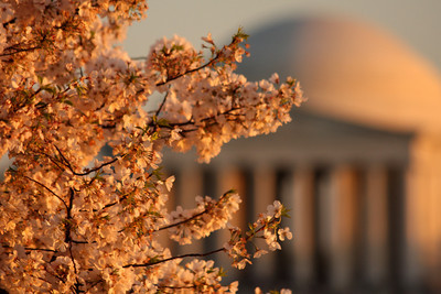 Cherryblossoms and the Jefferson Memorial - Washington, DC ... April 1, 2010 ... Photo by Rob Page III