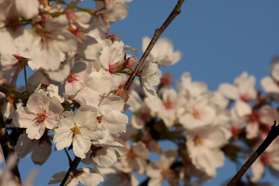 Cherryblossoms by the Tidal Basin - 2010