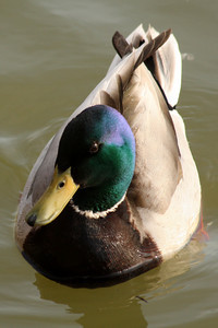 A mallard duck at the tibal basin - Washington, DC ... April 2, 2010 ... Photo by Rob Page III