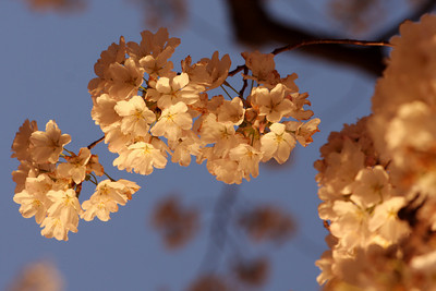 Cherryblossoms - Washington, DC ... April 1, 2010 ... Photo by Rob Page III