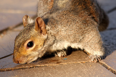 A squirrel - Washington, DC ... April 1, 2010 ... Photo by Rob Page III