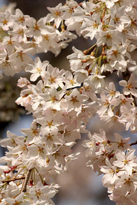 Cherryblossoms at Georgetown University - Washington, DC ... March 27, 2010 ... Photo by Rob Page III