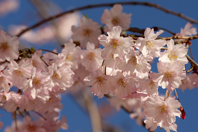 Cherryblossoms - Washington, DC ... March 27, 2010 ... Photo by Rob Page III