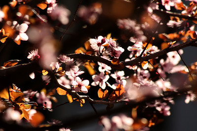 Cherryblossoms - Washington, DC ... March 31, 2010 ... Photo by Rob Page III