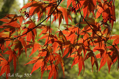 A Japanese maple at the National Arboretum - Washington, DC ... April 1, 2012 ... Photo by Rob Page III
