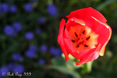 A tulip outside the White House - Washington, DC ... April 2, 2012 ... Photo by Rob Page III