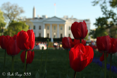 Tulips outside the White House - Washington, DC ... April 2, 2012 ... Photo by Rob Page III