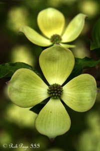A dogwood in bloom at the National Arboretum - Washington, DC ... April 1, 2012 ... Photo by Rob Page III