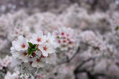 Sakura - Washington, DC ... March 21, 2012 ... Photo by Rob Page III