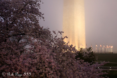 Cherry Blossoms - Washington, DC ... March 22, 2012 ... Photo by Rob Page III