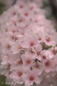 Cherryblossoms - Washington, DC ... March 22, 2012 ... Photo by Rob Page III