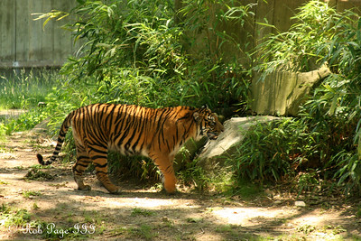 One of the tigers at the National Zoo - Washington, DC ... May 17, 2008 ... Photo by Rob Page III