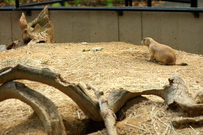 A black-tailed pairie dog at the National Zoo - Washington, DC ... July 28, 2008 ... Photo by Rob Page III