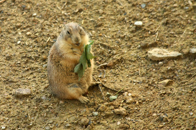 A black-tailed prairie dog - Washington, DC ... July 28, 2008 ... Photo by Rob Page III