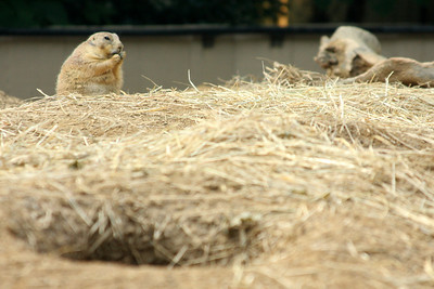 The black-tailed prairie dog - Washington, DC ... July 28, 2008 ... Photo by Rob Page III